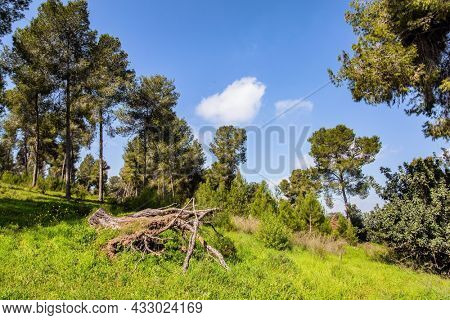 Tall slender pines grow in the meadow.  Picturesque pine grove. Warm sunny february day. Spring green world. Israel.