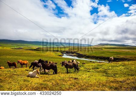Only one breed of horse lives in Iceland. Beautiful and well-groomed Icelandic horses on a free pasture. Green fresh tall grass in Tundra. Summer in Iceland. Journey of dreams.