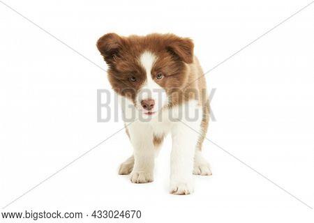 Brown white puppy border collie over white background.
