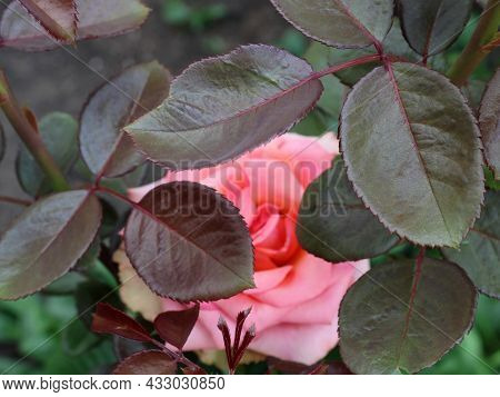 Beautiful Petals Of A Pink Shrub Of Violet-green Color With A Defocused Pink Blotch Of A Bud, Floral