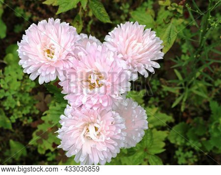 Delicate Pink Chrysanthemums Growing On A Flower Bed, A Lush Inflorescence Of Autumn Flowers Of A Li
