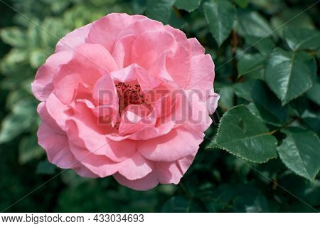 Delicate Open Bud Of A Pink Garden Rose. Garden Rose Bush. Pink Petals Of A Beautiful Flower.