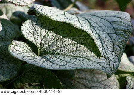 Sunny Autumn Day. Brunnera Of A Grade Jack Frost. Large Juicy Leaves With A Pattern Green A Streak O