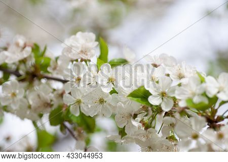 Blooming Cherry Branch. Close Up Of Blooming Fruit Tree With White Flowers In Spring On Light Blurre
