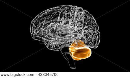 Brain Cerebellum Anatomy For Medical Concept 3d Illustration
