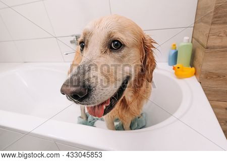 Closeup portrait of face of adorable golden retriever dog standing in the bath wearing towel and looking at the camera. Funny wet doggy pet after cleaning. Cute labrador after shower