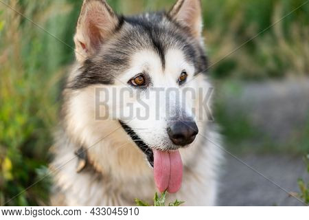 Adorable husky dog with tonque out portrait in the grass in field. Beautiful doggy with incredible eyes in summertime feels hot