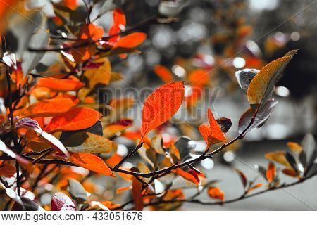 Bright Red Leaves Of Black Chokeberry Aronia Melanocarpa On A Deep Blue Background. Autumn Vivid Nat