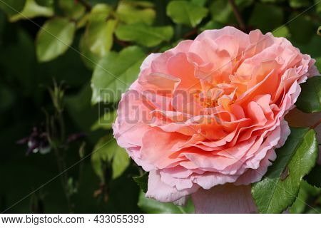 Salmon Pink Rose Flower, Rosa Species Of Unknown Variety, In Close Up With A Background Of Blurred L