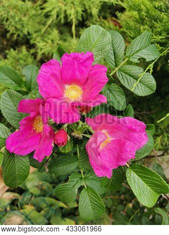 Wild Rose. A Colorful Pink Rose Flower Garden In Full Bloom On A Background Of Green Leaves