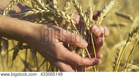 A Mans Hand Holds Spikelets Of Ripe Wheat With Grain On The Background Of A Golden Field And The Sky