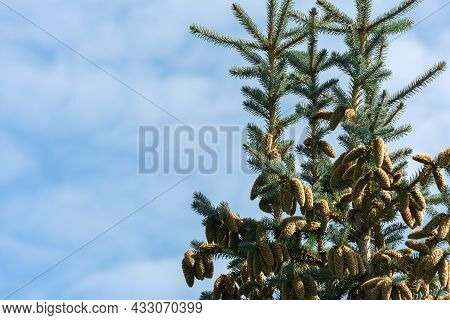 At The Top Of A Blue Spruce, Many Cones Hang On The Branches Against The Background Of The Sky. Coni