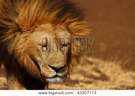 Sad Lion