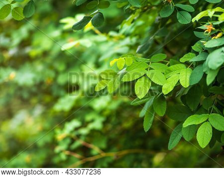 Rosehip In The Spring. Young Leaves Of Wild Rose In Spring. Rosehip Bush. Close-up. Fresh Green Leav