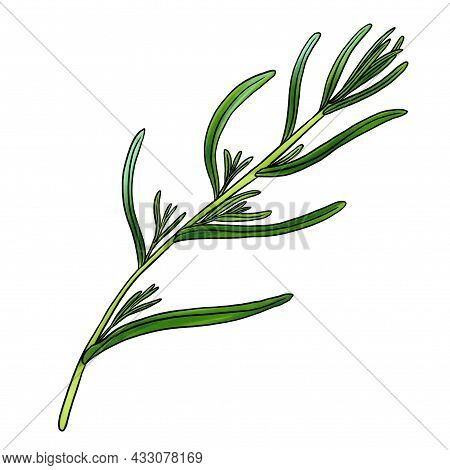 Drawing Plant Of Tarragon, Estragon, Isolated At White Background, Hand Drawn Illustration