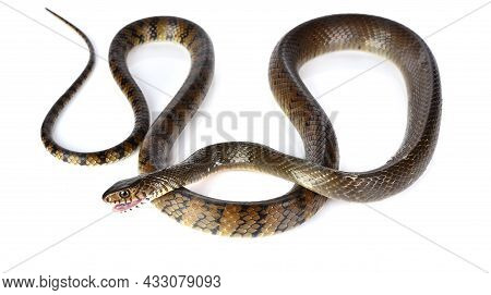 A Snake Isolated On A White Background