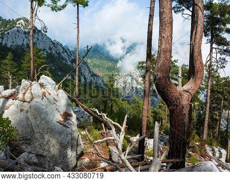 Bifurcated tree or tree fork of unusual shape in coniferous forest in mountains of Mediterranean region of Turkey, near Antalya, Nature landscape
