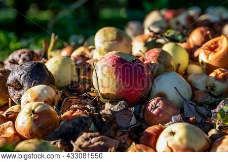 Red Apple In A Pile With Rotten And Damaged Apples. Garden And Food Waste, Compost