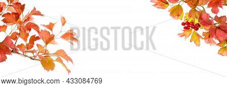 Bright Autumn Leafs Of Viburnum Isolated On White Banner.