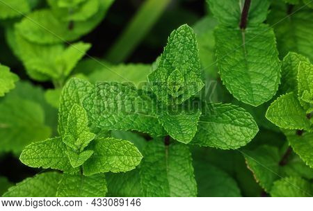 Close Up Fresh Green Mint Leaves Growing On Herb Garden Bed In Open Ground, Elevated Top View, Direc