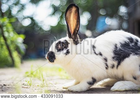 Small White And Black Rabbit Eating Green Grass On The Ground, Domestic Rabbit With Big Ears