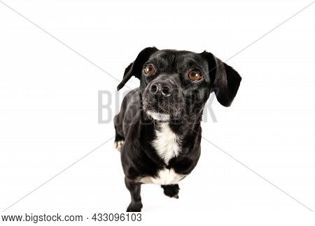 Small Black Dog Without Breed Portrait, Mixed Breed Canine Looking Up With Attention Isolated White