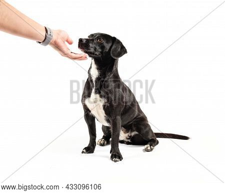 Small Black Dog, Mixed Breed Canine Looking Up Attentively Love Positive Reinforcement, Isolated Whi