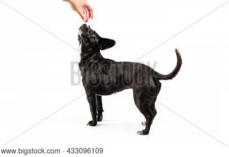 Small Black Dog Portrait, Mixed Breed Canine Looking Up Attentively A Hand Holding Food Positive Rei