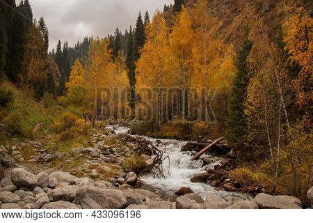 A River With Stones High In The Mountains In Autumn, Yellow Trees And Christmas Trees Grow Around On