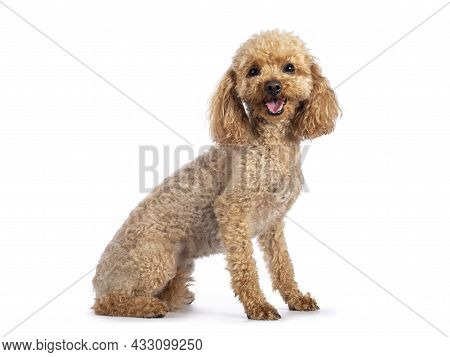 Adorable Young Adult Apricot Brown Toy Or Miniature Poodle. Recently Groomed. Sitting Side Ways Faci