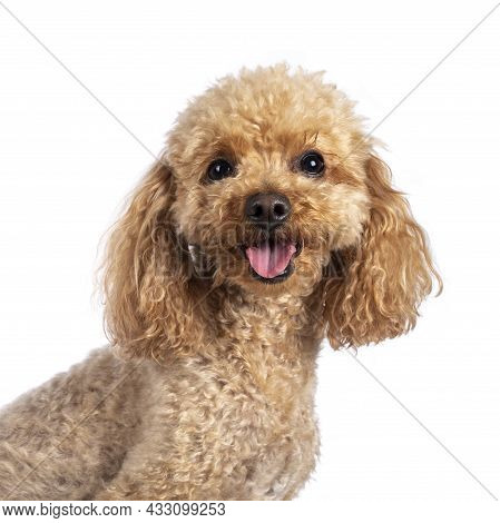 Head Shot Of Adorable Young Adult Apricot Brown Toy Or Miniature Poodle. Recently Groomed. Sitting S
