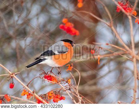 Red Bird Eurasian Bullfinch (pyrrhula Pyrrhula) Sitting On A Branch Of Guelder Rose (viburnum Opulus