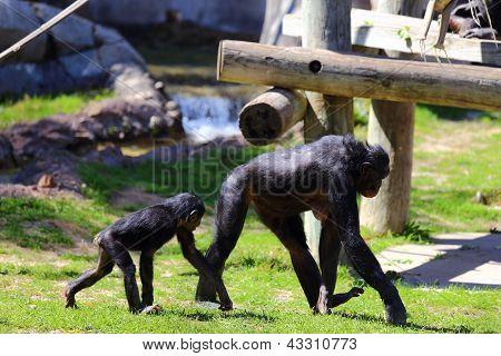 Bonobos Monkeys