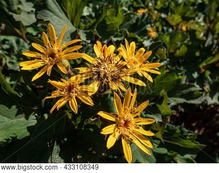 Closeup Shot Of Ligularia 'osiris Cafe Noir' With Golden-yellow Daisy Flowers. Flat-topped Clusters