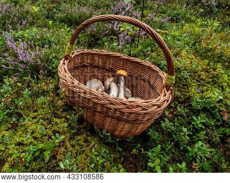 Wooden Basket On The Ground With Edible Mushrooms - Russula Rosea, Chanterelles, Boletus Among Fores
