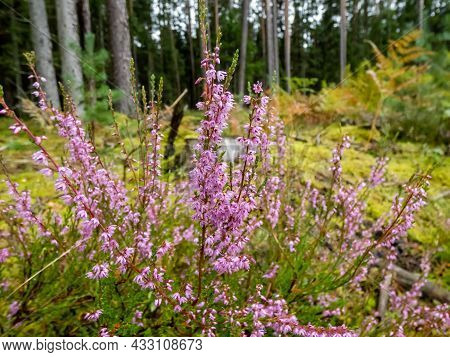Close Up Shot Of Pink Flowers Of Common Heather (calluna Vulgaris) Growing In Forest In Autumn With