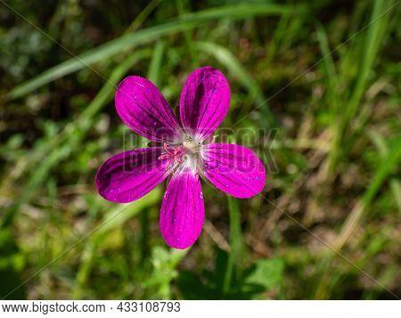Macro Shot Of Bright Pink Bloom Of Marsh Cranesbill (geranium Palustre) With Blurred Green Backgroun