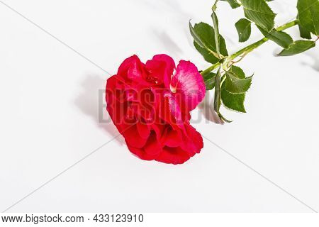 A Single Pink Rose Isolated On White Background. Festive Gift, Greeting Card For Easter, Birthday, V