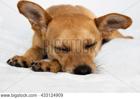 Gold Colored Mixed-breed Dog With Big Ears And Closed Eyes Sleeping Comfortably In Soft Fluffy Bed I