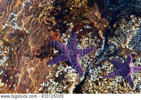 Two Purple Sea Stars Under The Water In Pacific Ocean At Beachcomber Regional Park In Nanoose Bay, B