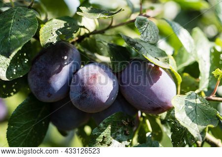 Prunus Domestica Plums In The Old Land Next To Hamburg