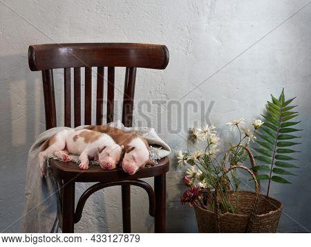 Sweet Newborn Puppies Sleeping. Dog Spanish Greyhound At Home On The Chair