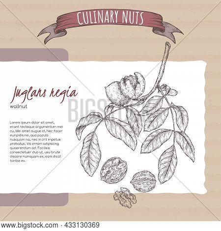 Juglans Regia Aka Walnut Tree Branch And Nuts Sketch On Cardboard Background. Culinary Nuts Series.