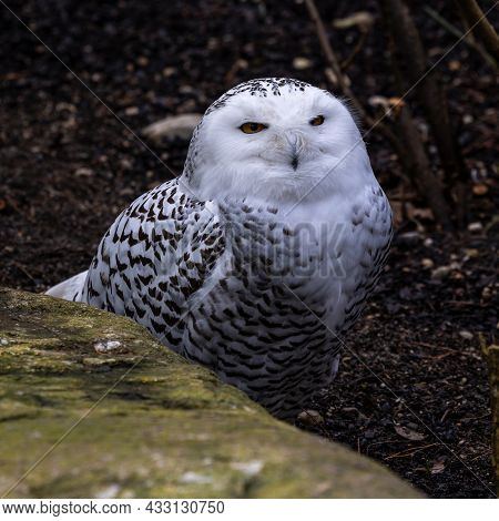 The Snowy Owl, Bubo Scandiacus Is A Large, White Owl Of The Typical Owl Family. Snowy Owls Are Nativ