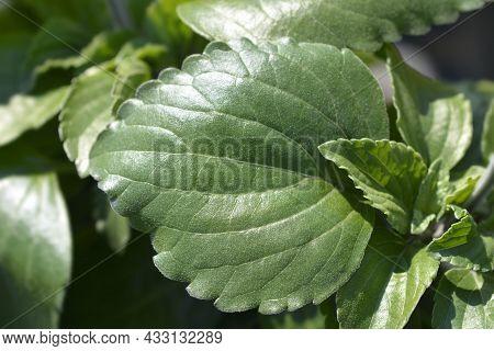 Sage Mystic Spires Blue Leaves - Latin Name - Salvia Mystic Spires Blue