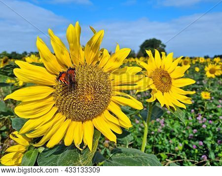 Blossoming sunflowers with butterfly in the fields in the Netherlands