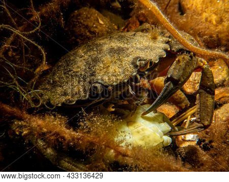 A Close-up Picture Of A Crab Among Seaweed. Picture From The Sound, Between Sweden And Denmark