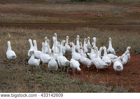 A Flock Of Domestic Or Wild White Geese On The Autumn Grass In The Yard. Domestic Bird. Bird Breedin