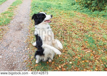 Funny Puppy Dog Border Collie Playing Jumping On Dry Fall Leaves In Park Outdoor. Dog Sniffing Autum