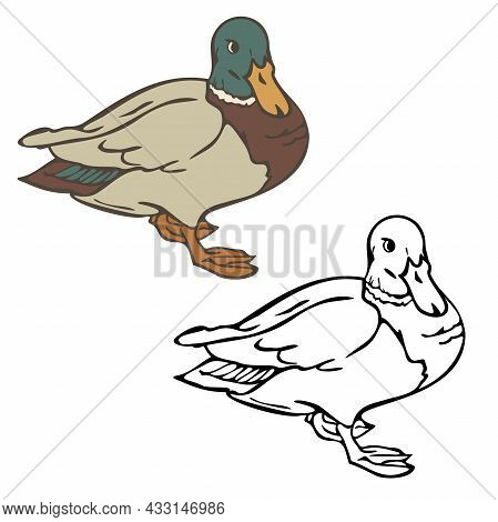 Vector Illustration Of Wild Duck Colored And Depicted By A Line And Outline. Design For Coloring Boo